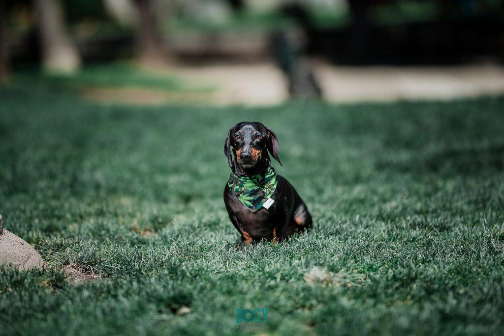 perro dachshund tomando sol