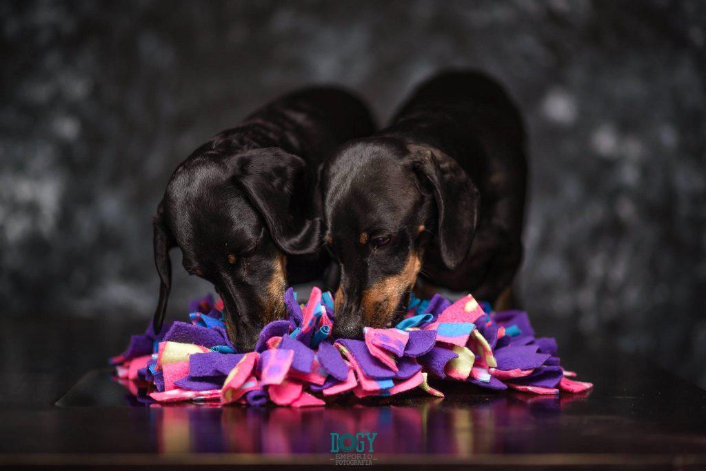dachshund olfato