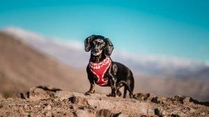 dachshund cerro
