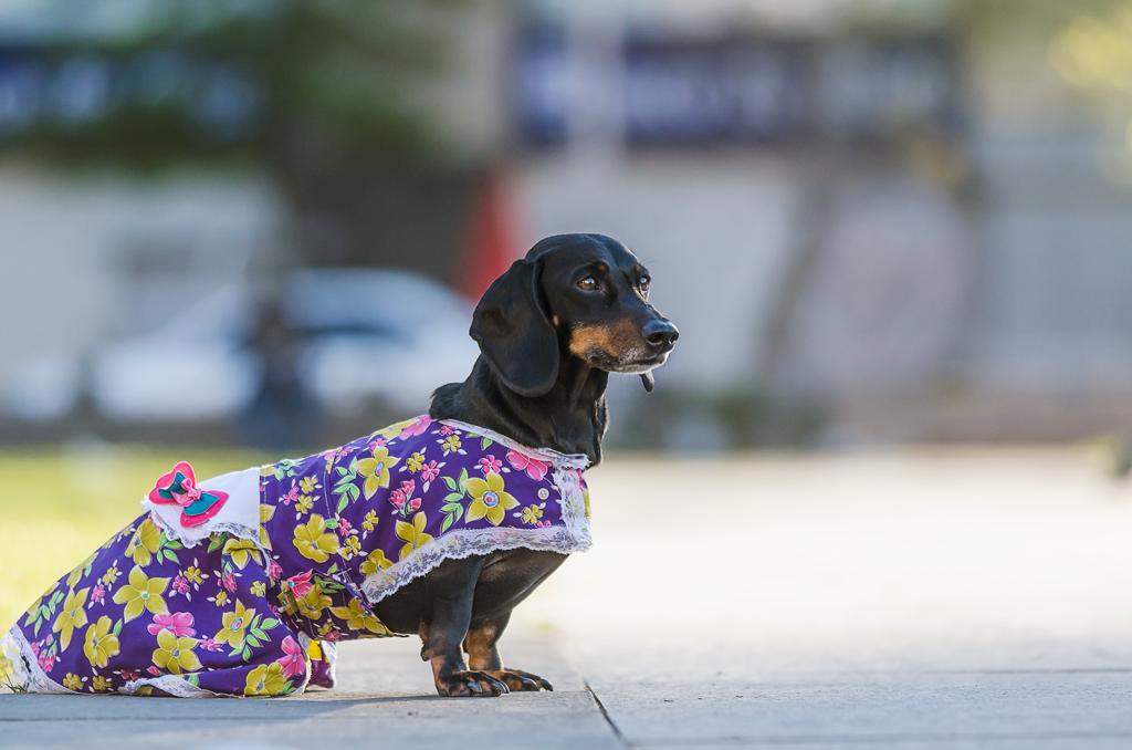 foto mascotas fiestas patrias perro
