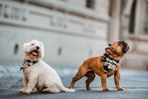 bulldog ingles y westie